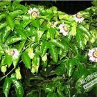 爬藤植物  品种齐全
