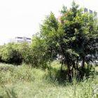 出售榕树,可作园林绿化